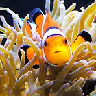 Clownfish In Anemone by daphsam