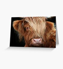 Highland Cow, Highland Cattle Greeting Card