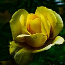 My Yellow Rose by Luís Lajas