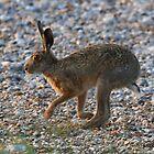 Hare  by John Thurgood