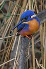 Azure kingfisher 06 by Werner Padarin