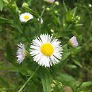 White wildflower by Ana Belaj