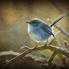 Fairy Wren - Non breeding male by Barb Leopold