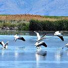 Pelicans Take Flight by Len Bomba