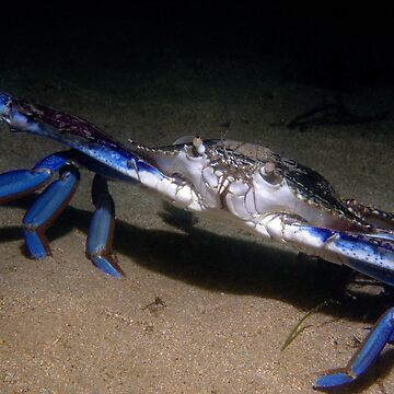 Blue Swimmer Crab by eschlogl