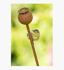baby blue tit Photographic Print