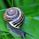 Banded Garden Snail by Nancy Barrett