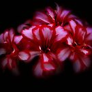 Bi-colour geranium by missmoneypenny