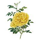 Persian Yellow Rose by lorihinner