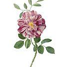 Pink Rose by lorihinner