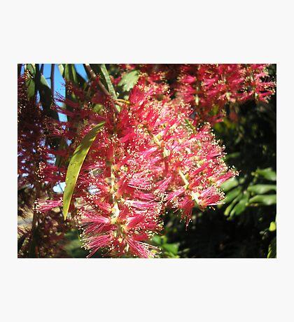 Melaleuca hypericifolia (Red Flowering Paperbark) Photographic Print