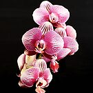 Sensual Purple and White Orchids in Full Bloom by Jacqueline Cooper