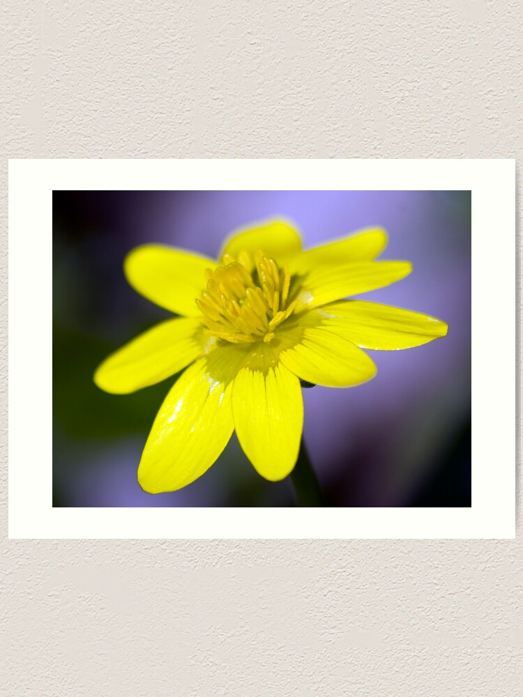 Alternate view of Yellow Celendines Art Print