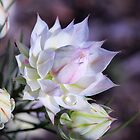 Morning Protea by sienebrowne