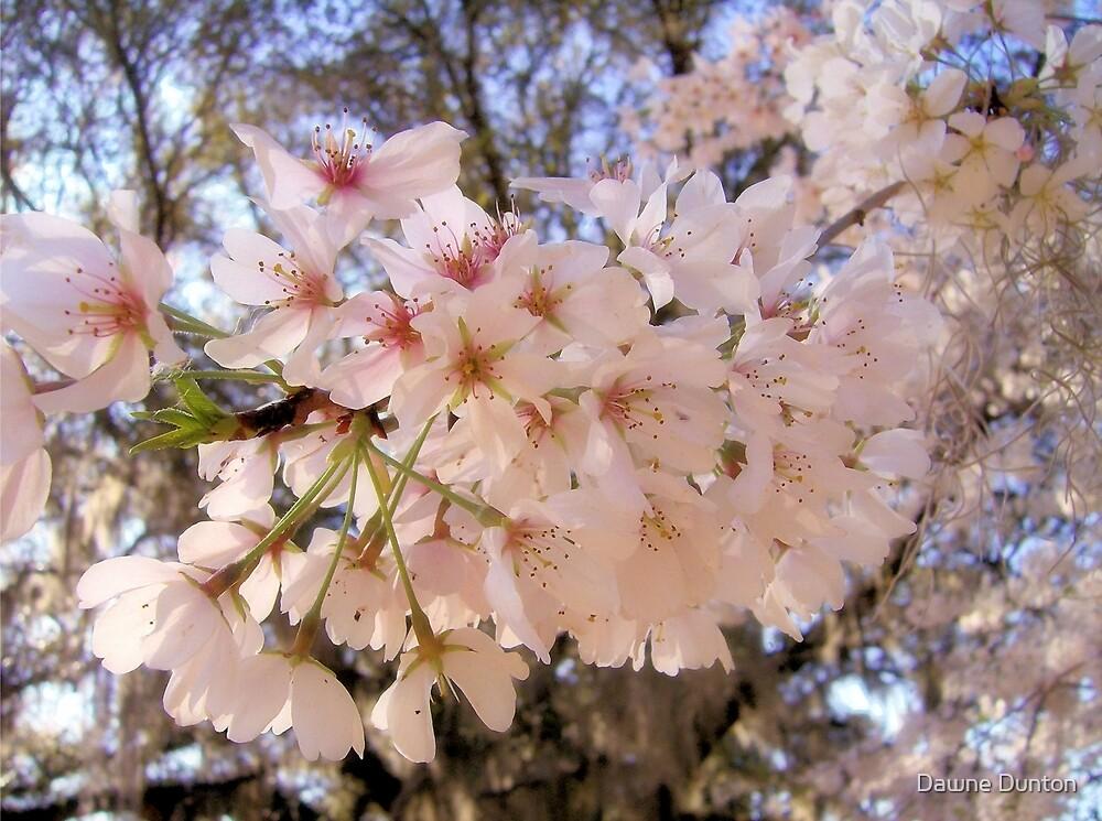 Cherry Blossoms by Dawne Dunton