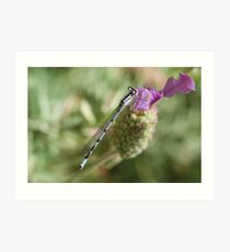 Common blue damselfly resting on some lavender Art Print