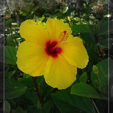 Yellow Gumamela by AlexDu