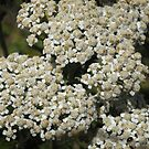 Common Yarrow by Colleen Drew