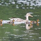 Mrs Duck and Family by dougie1
