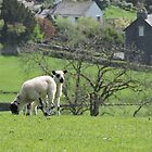 Lambs In Lake District Village by CreativeEm