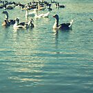 Geese on the water by MRPhotography