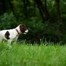My Theodore ~The English Springer Spaniel~   by Gypsykiss