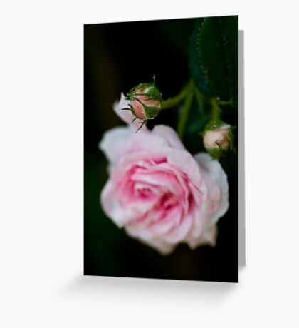 rose bud Greeting Card