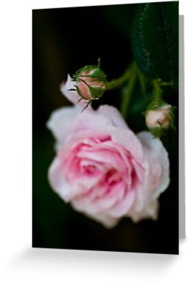rose bud by Ilva Beretta