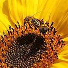Sonnenblume mit Bienen von LarryWintersohn