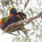 Parrots Leith Park Victoria 20180426 2573  by Fred Mitchell