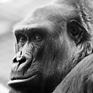 Zaire Western Lowland Gorilla by Sheila Smith