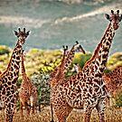 Giraffe Duo by Scott Ward