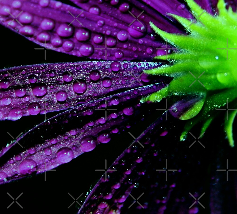 Daisy flower - Purplicious by Ingrid Beddoes