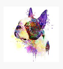 Boston Terrier Watercolor, Boston Terrier Painting, Boston Terrier Portrait, Boston Terrier art, Boston Terrier illustration Photographic Print