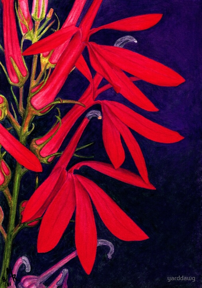 Cardinal Flower - Watercolor Pencil by yarddawg