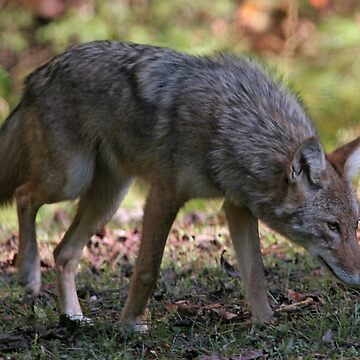 Coyote by suddath