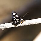 An Eight-spotted Forester Moth by DigitallyStill