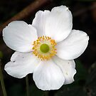 Anemone by Woodie