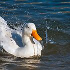 Duck Enjoying a Swim in the Water by TJ Baccari Photography