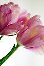 Pink Chiffon by Extraordinary Light