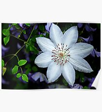 White Clematis Surrounded By Purple Clematis Poster