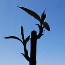Lucky Bamboo Plant by gmanchi