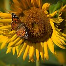 Painted Lady Butterfly on Sunflower by Bonnie T.  Barry