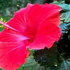 Wonderful hibiscus by daffodil