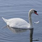 Swan with a Feather by Rosalie Scanlon