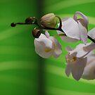 Flower Buds by gmanchi