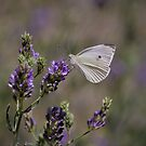 Cabbage White Butterfly I by Len Bomba