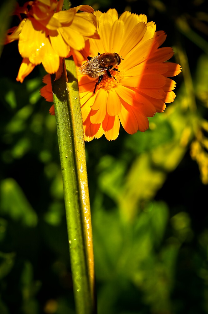 Daisybee by Pat Shawyer
