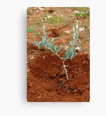 A freshly planted young olive tree.  Canvas Print