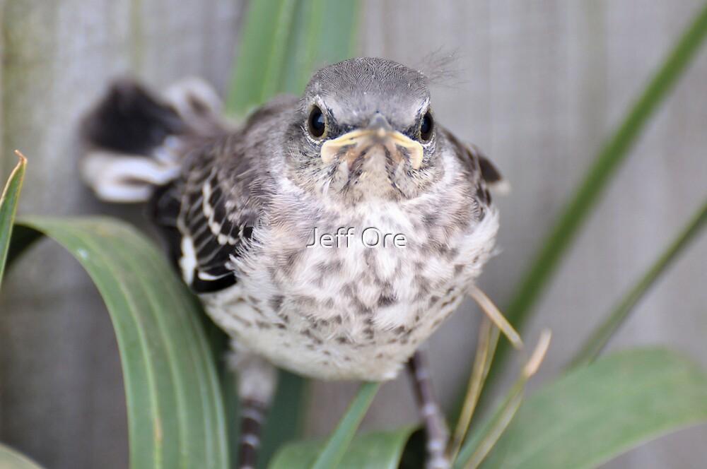 Baby Mocking Bird by Jeff Ore